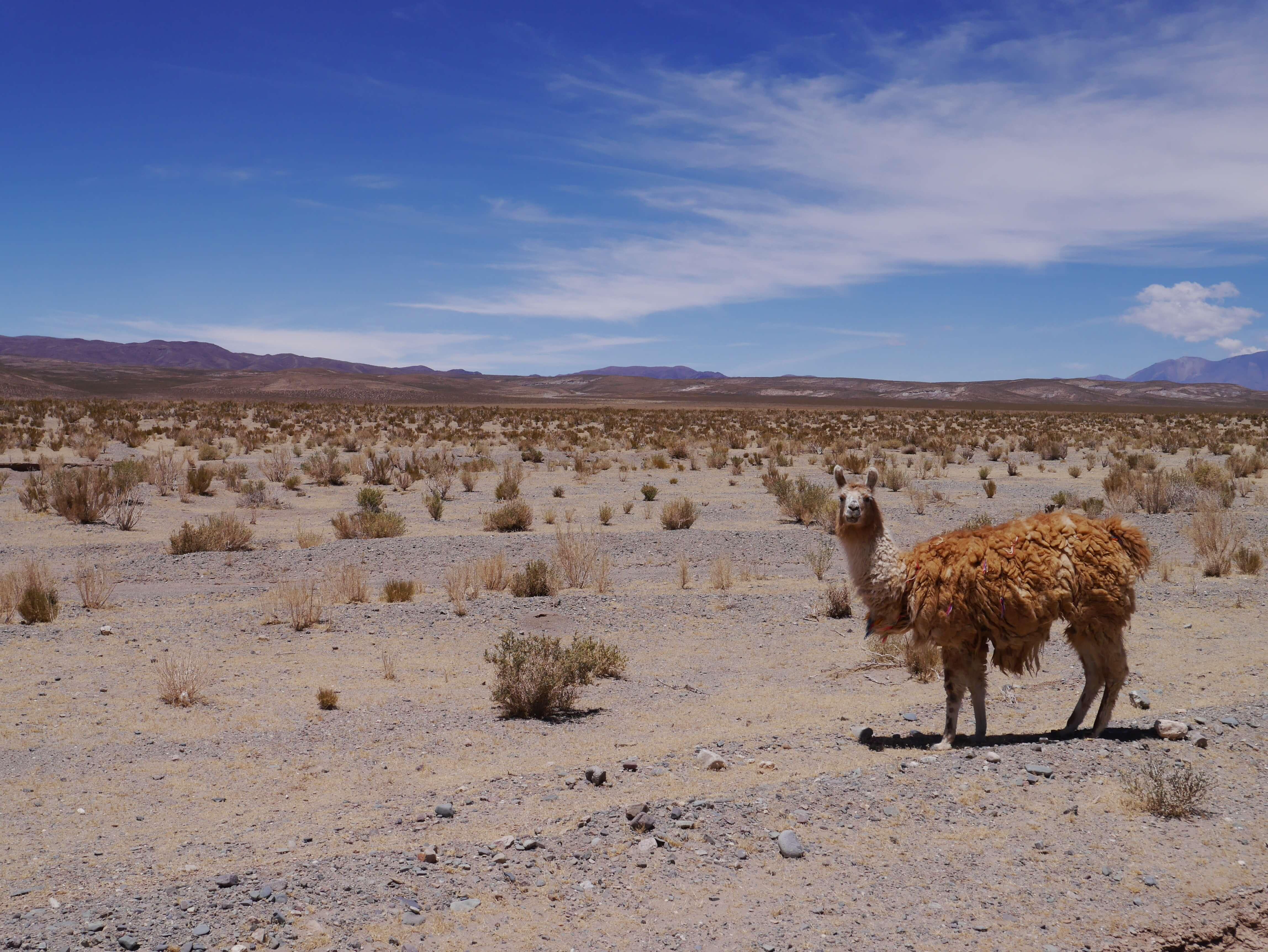 Llama-puna-Salta-Argentina