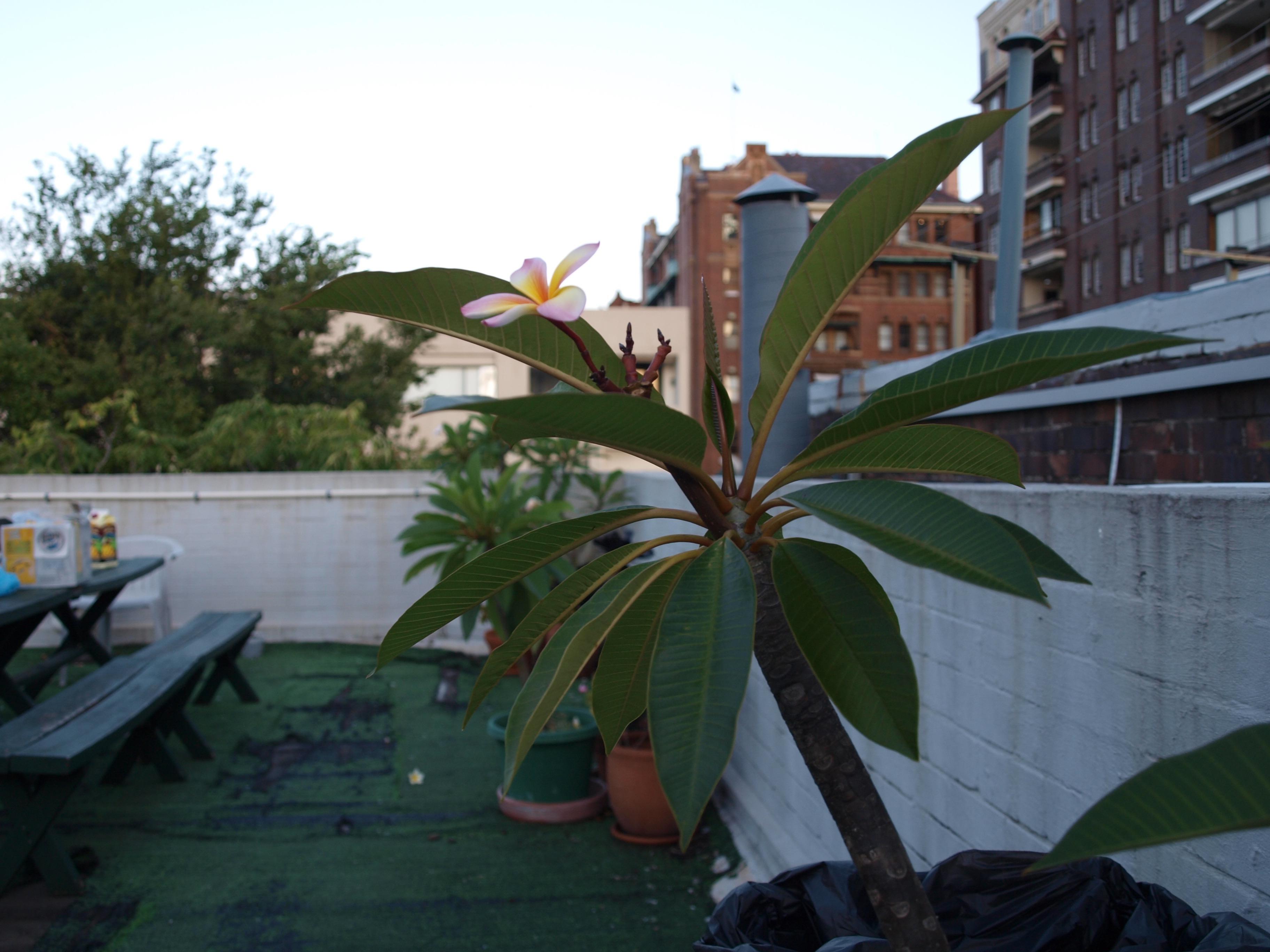 Frangipani-rooftop-Potts-Point-Sydney