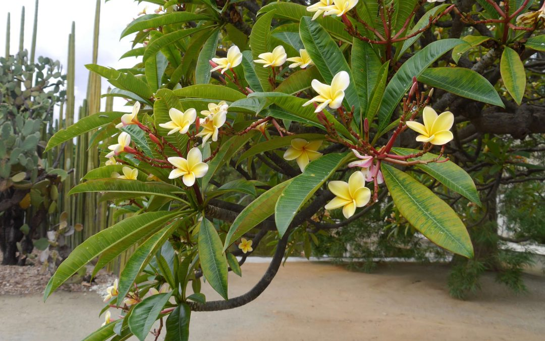 Frangipani-branch-leaves-blossoms